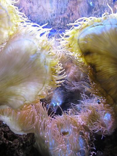Bubble Sea Anemone