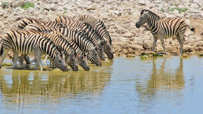 Zebra line - African Wildlife - Gorgeous Life