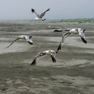 As I approach these 4 wary seagulls took flight.