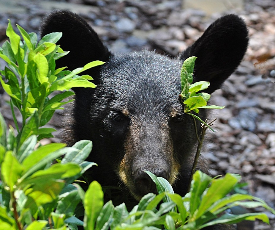 Lil Bear Cub looking at me through my azaleas.  Isn\'t she adorable!