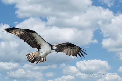 Osprey on the River-2470