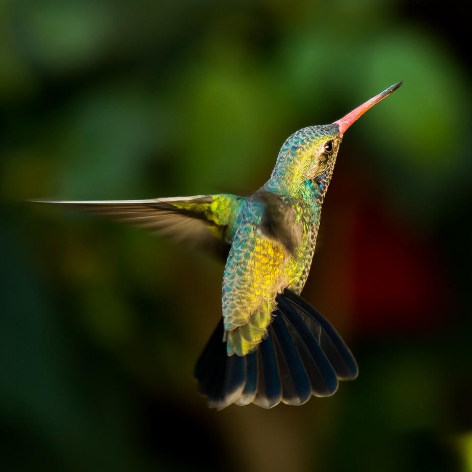 Hummingbird by GonzaloHerreraPhotography - Hummingbirds Photo Contest