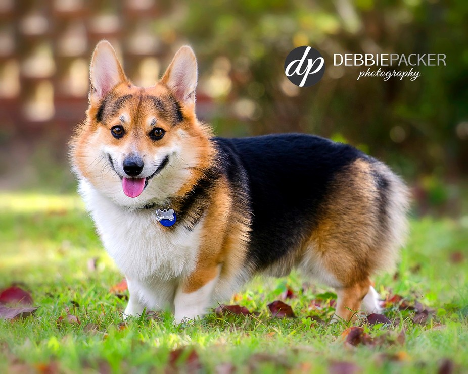 My Pembroke Welsh Corgi, Roy. I enjoy several types of photography, but I love when this little f...