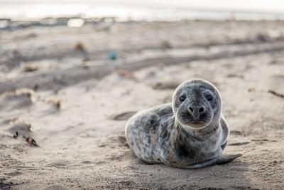 Seal - Spurn Head