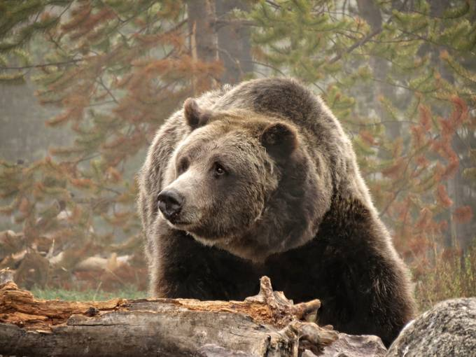 Grizzly by donanzinger - The Beauty Of Yellowstone National Park Photo Contest