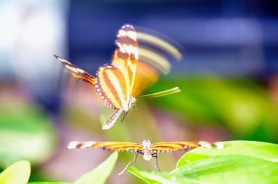 A Pair of Stik tiger striped longwing butterflies