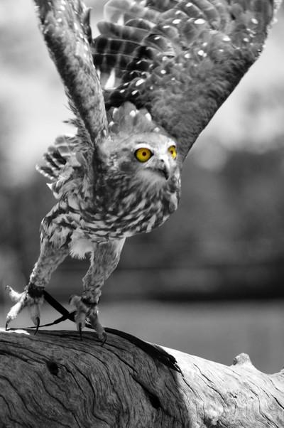 Barking Owl Black & White