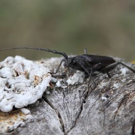Longhorn beetle in Portugal