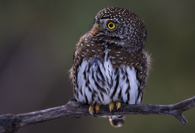 Pygmy Owl -1_18_2015_0R8A9843