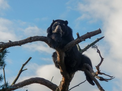 Spectacled bear in a tree