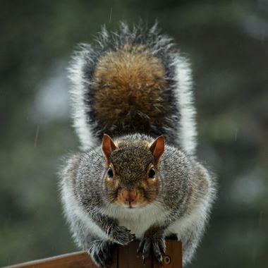 A grey squirrel looking in the window at me.