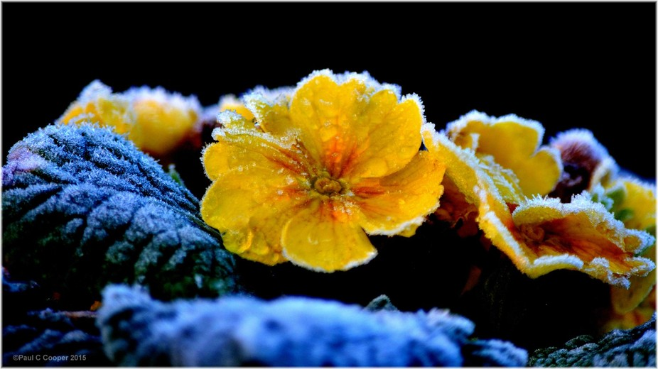 Frost Coated Primrose 023