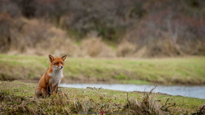 Little red Fox by janlinskens - Celebrating Nature Photo Contest Vol 3