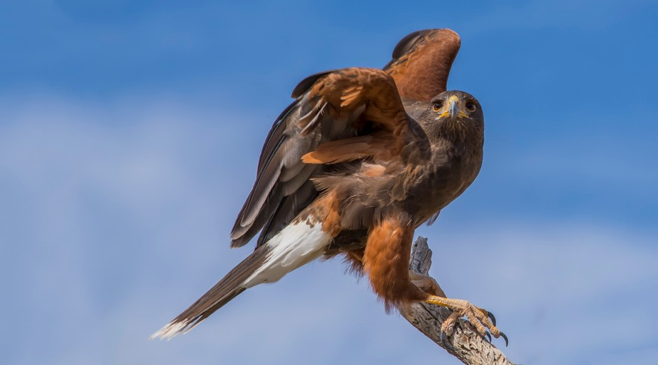 This photo was taken during a free flight raptor presentation at the Sonoran Desert Museum outsid...