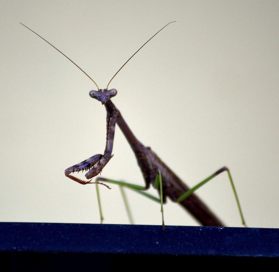 Mantis on window