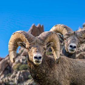 Big Horn Sheep Duo