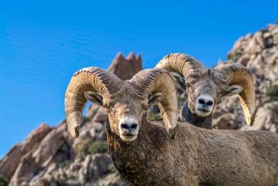Big Horn Sheep Duo