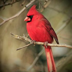 Beautiful red colored plumage on the male perched in our backyard.