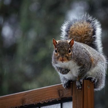 A grey squirrel sitting on a wooden privacy screen in the rain.