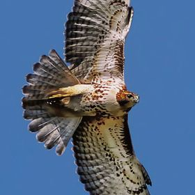 I captured this image as the hawk flew over the backyard looking for an easy meal at one of our many bird feeders!