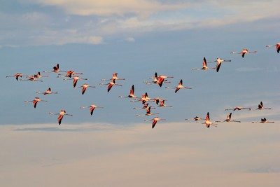 Greater Flamingo - Flying Colors