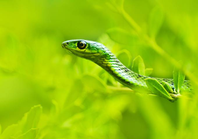 Durban Green Snake by mrwildie - Reptiles And Amphibians Photo Contest