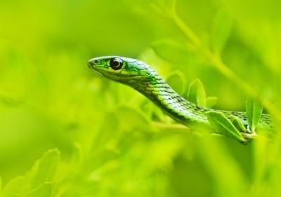 Durban Green Snake