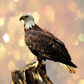 Photo of a lone eagle on a stump in the water, bokeh effect.