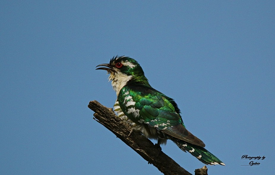 Male Dideric Cuckoo