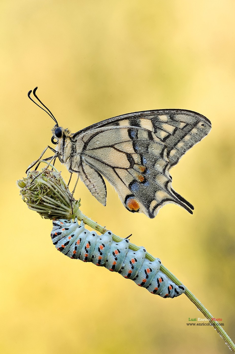Papilio Machaon Plus by Enrico_Luzi - The Beauty Of Nature Photo Contest