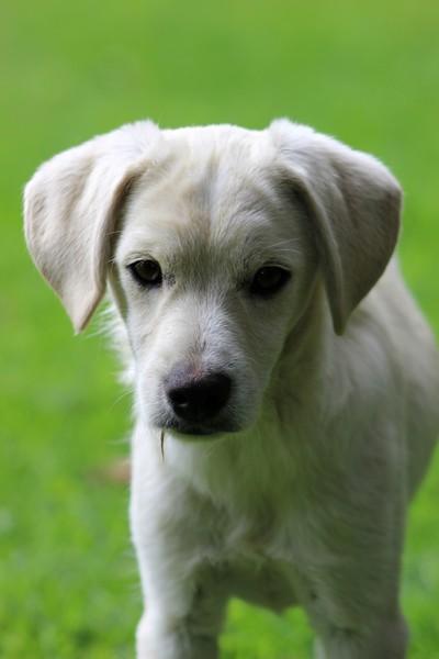 White Puppy in a Field