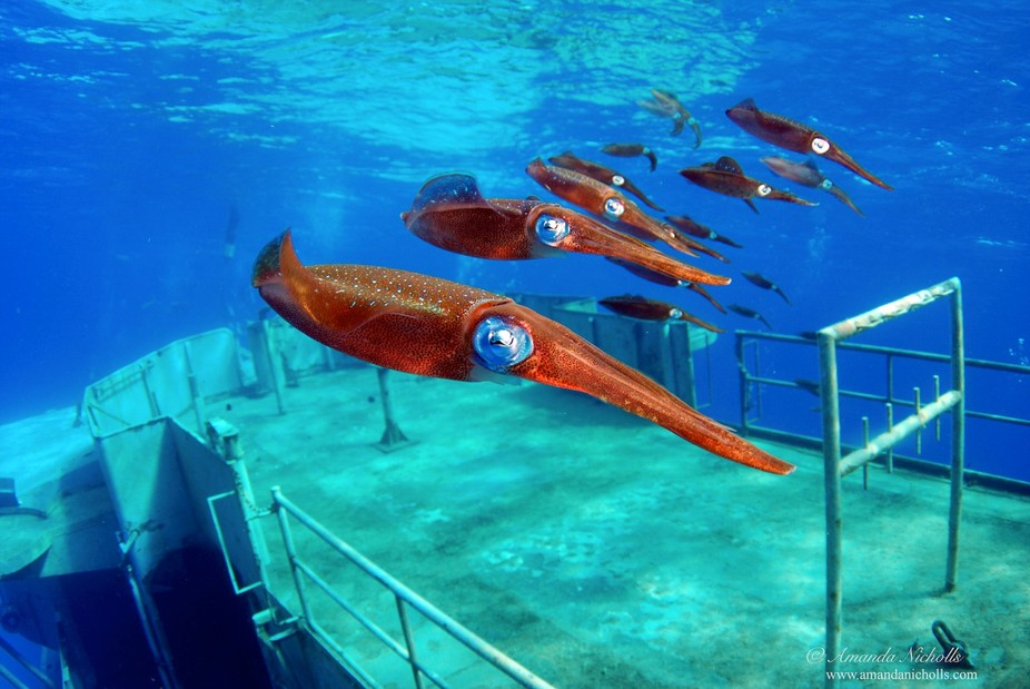 Reef Squid patrol the USS Kittiwake, Grand Cayman