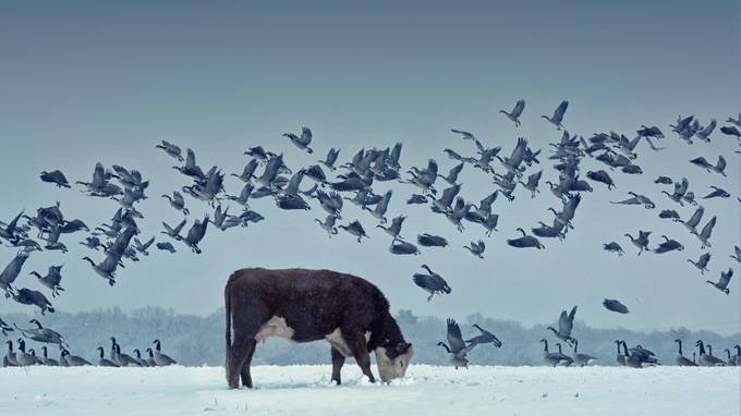 Cows and birds Print 1 by scottfranks - Farms And Barns Animals Photo Contest