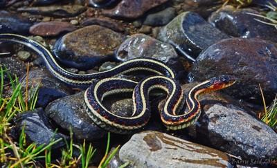 Chilko Lake Snake