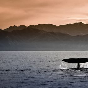 A sperm whale in front of the coast of Kaikoura, New Zealand