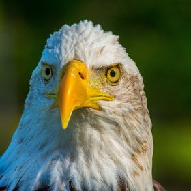 The bald eagle, one of the most majestic looking of all raptors.