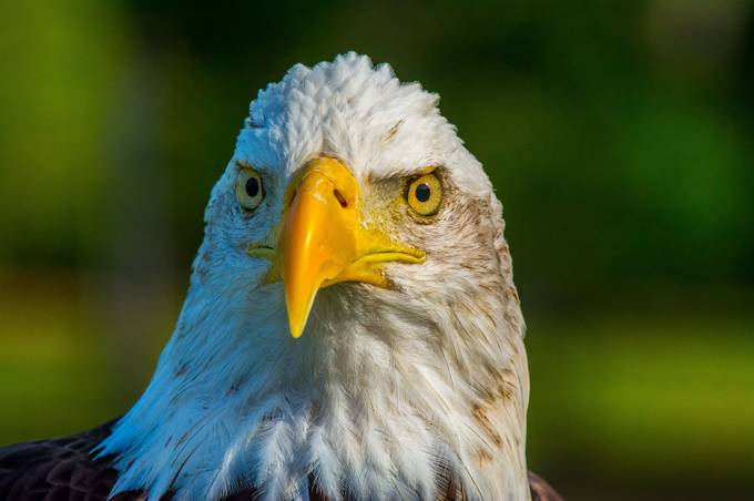 Bald Eagle by JohnStager - Just Eagles Photo Contest