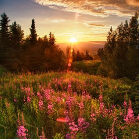 Sun setting on fireweed mid July on Butte Mountain, Palmer Alaska