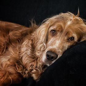 Our English Cocker Danko taking a rest. Probably my best friend, never argues, never bad tempered, always happy and loves me unquestioning. That'...