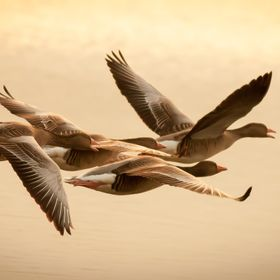 These geese were flying over the lake when the sun set. Click on the photo to see on a dark background, thank you.