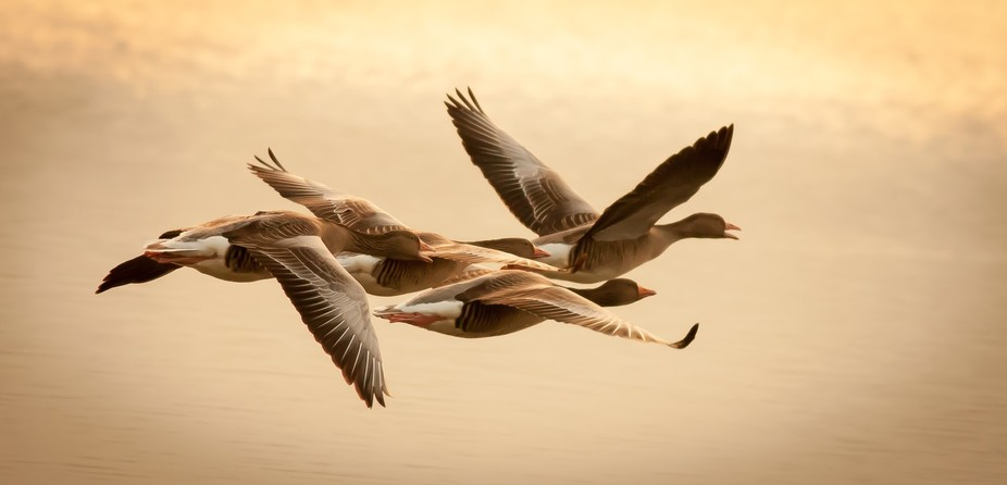 These geese were flying over the lake when the sun set. Click on the photo to see on a dark backg...