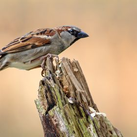 This House Sparrow was photographed in my own garden