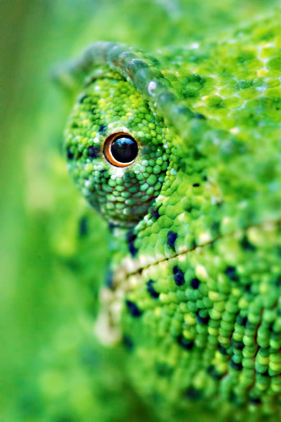 Keeping an eye on you by kdooley - Reptiles Photo Contest