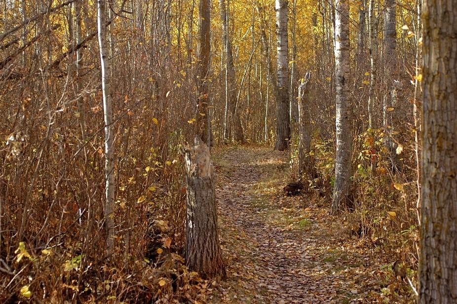 Walking trail in off-leash area, Sherwood Park, Alberta, Canada