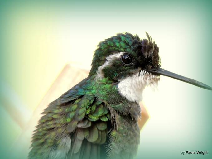 DSCN8788 by thewrightthings - Just Hummingbirds Photo Contest