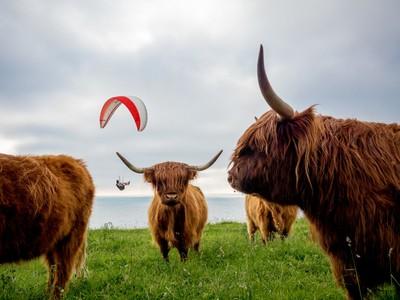 Para Cows