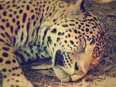Sleepy Jaguar - Big cat - Gretchen Smith