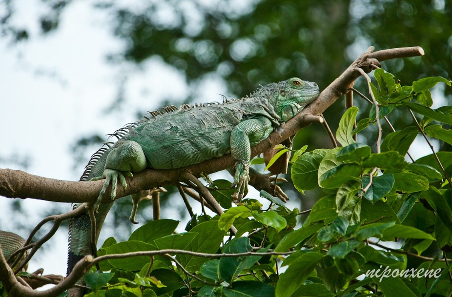 a green iguana shedding its skin