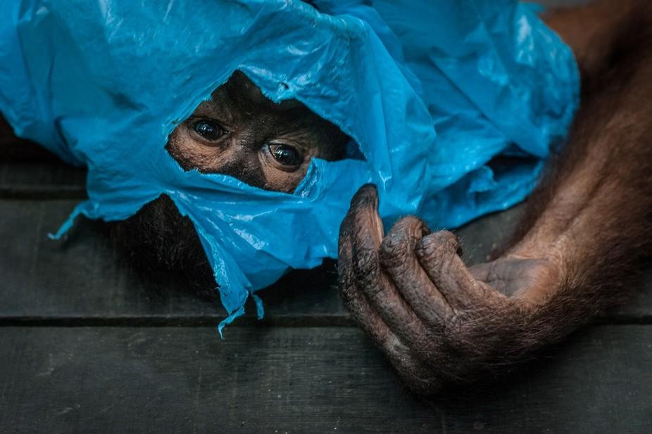 I spotted this orangutan female while wandering alone on the jungle trail behind Sepilok Orang Ut...