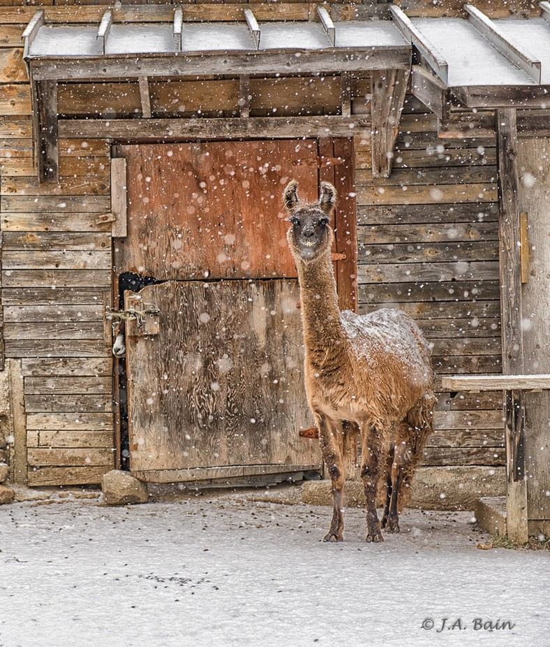 Llama & Goat-1 by JudithBain - Farms And Barns Animals Photo Contest